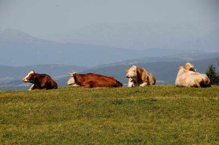 [150] Kühe auf der Seiser Alm ©Kalle Kubatschka © Deutscher Alpenverein Sektion Rheinland-Köln
