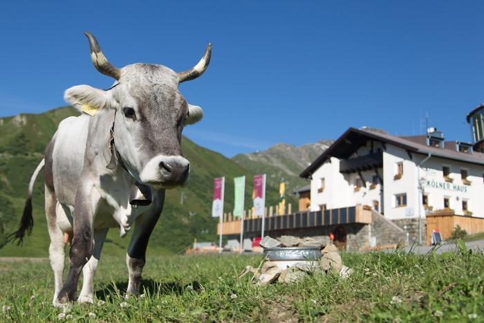 [222] Kuh vor dem Kölner Haus ©Walter Kerscher © Deutscher Alpenverein Sektion Rheinland-Köln